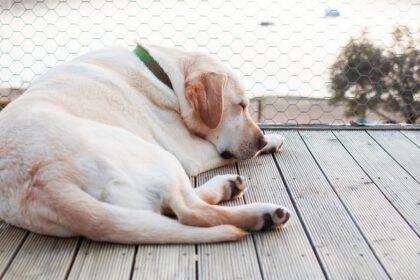 Hoe kan je zien of je Labrador drachtig is