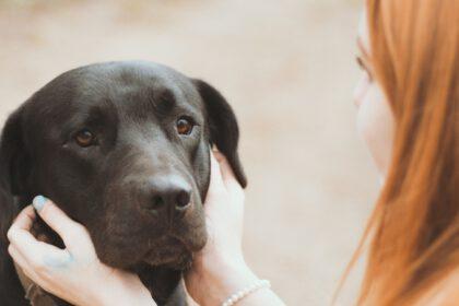 Hoe verzorg je de vacht van een Labrador