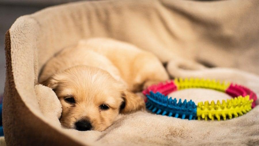 Labrador puppy mand