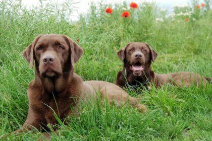 Hoe weet ik of mijn Labrador Retriever gezond is