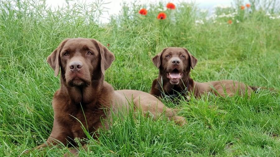 De ouders van de labrador puppy