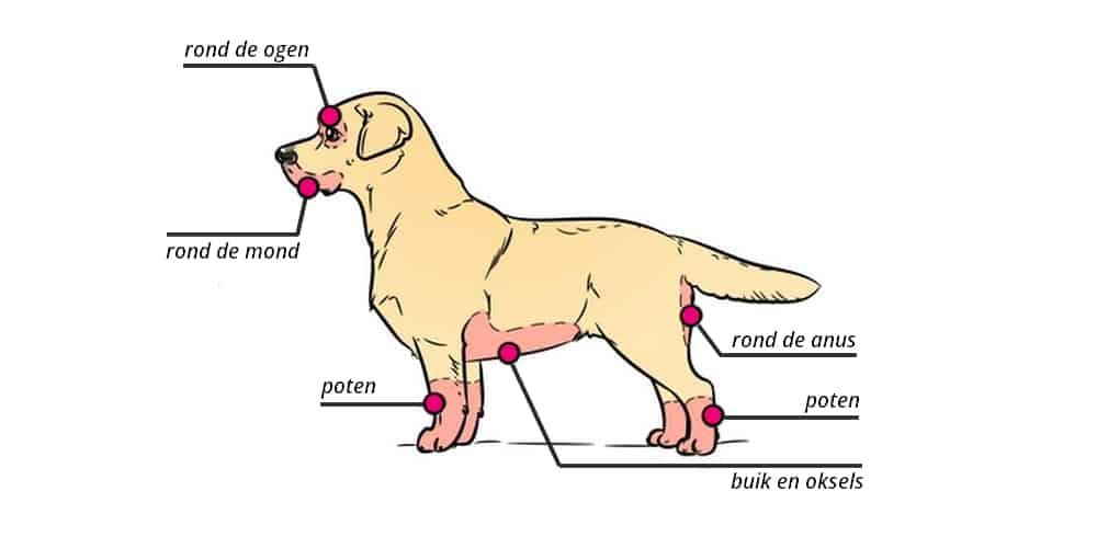 hond met eczeem, voedselallergie, atopische dermatitis