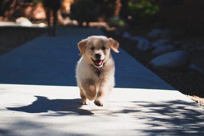 De verschillende ontwikkelingsfasen van een labrador pup