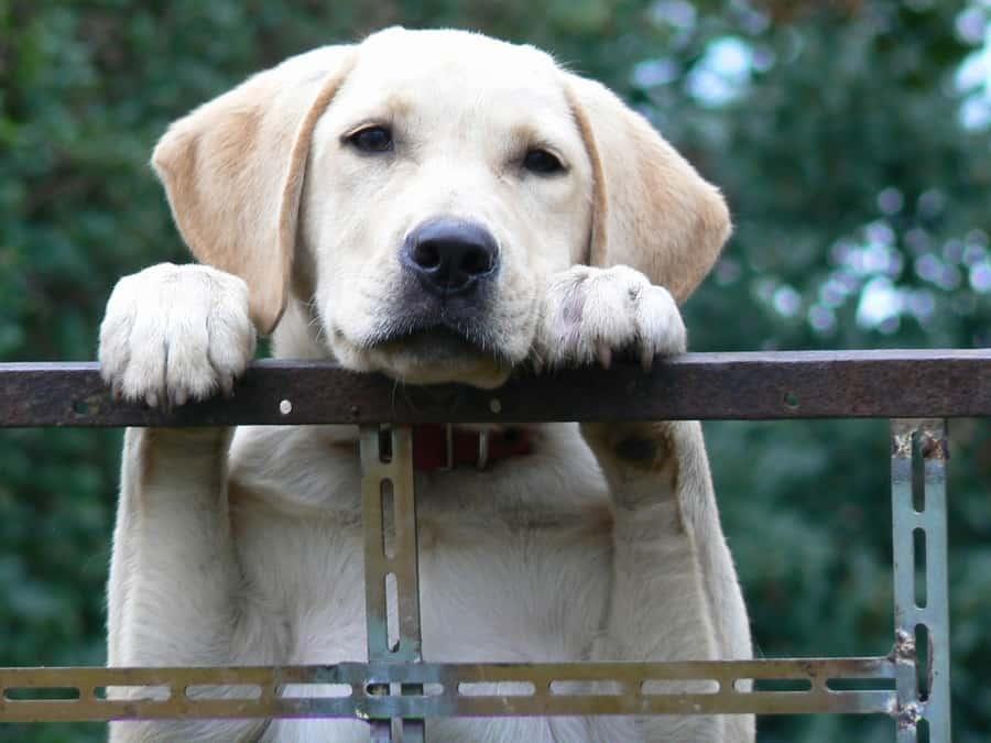 labrador retriever 4 tot 8 maanden