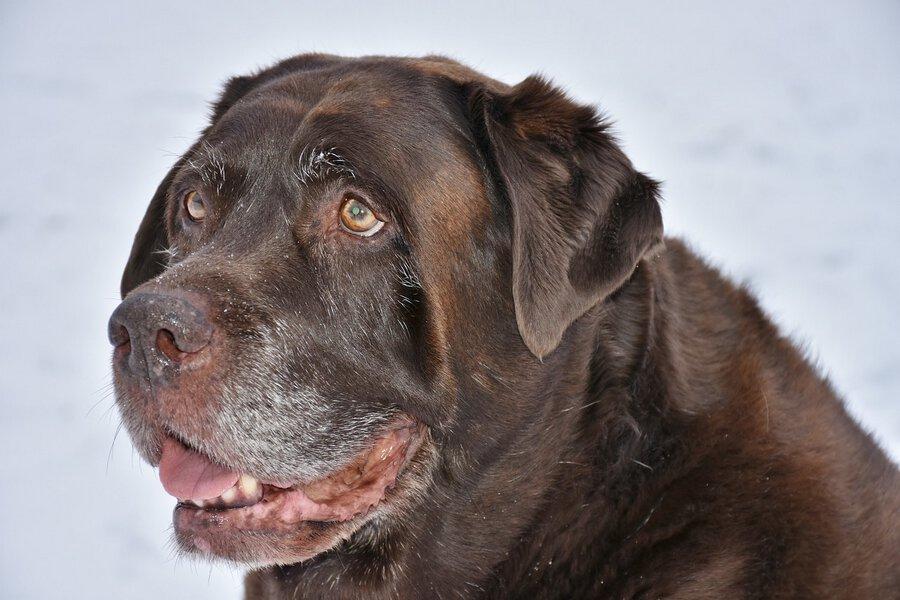 oude labrador retriever