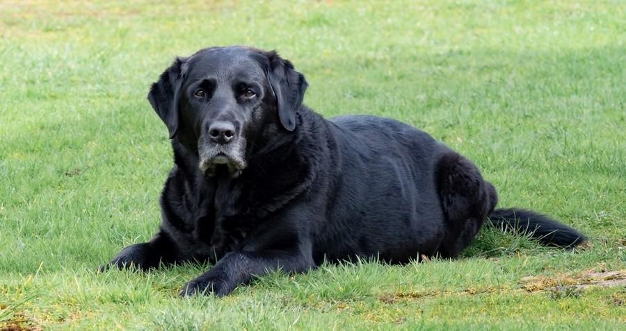 senior Labrador op het gras