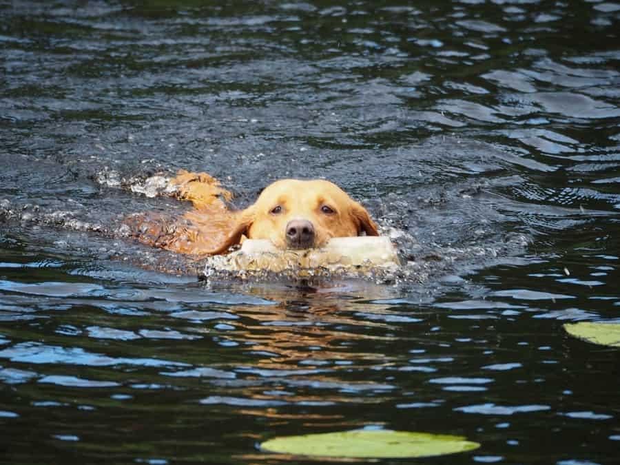 Labrador zwemmen