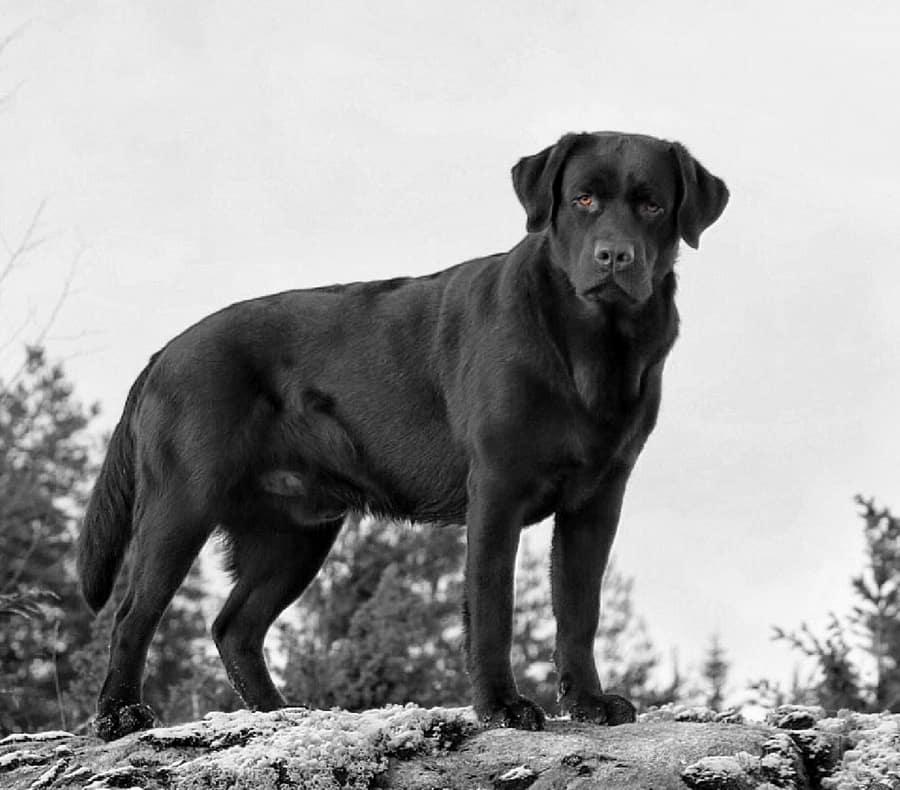 Showlijn Engels Labrador