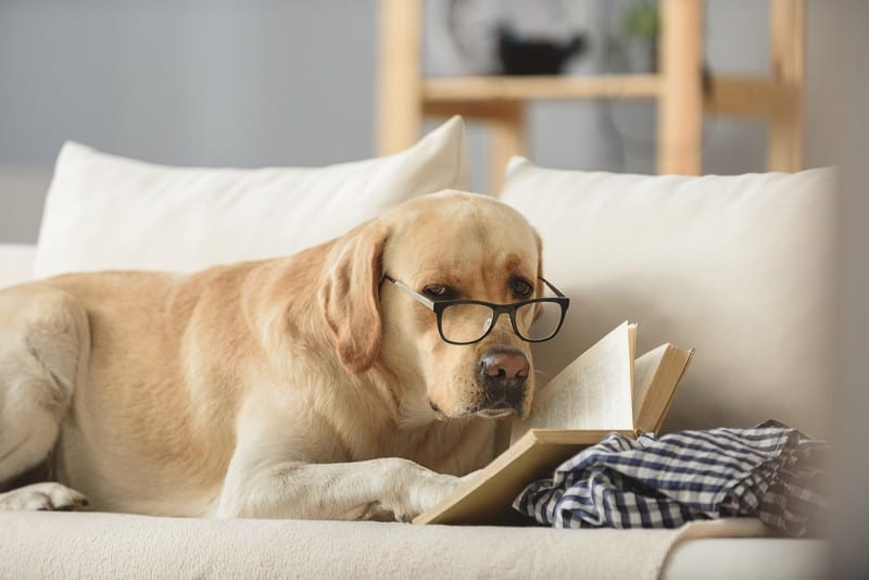 slimme labrador