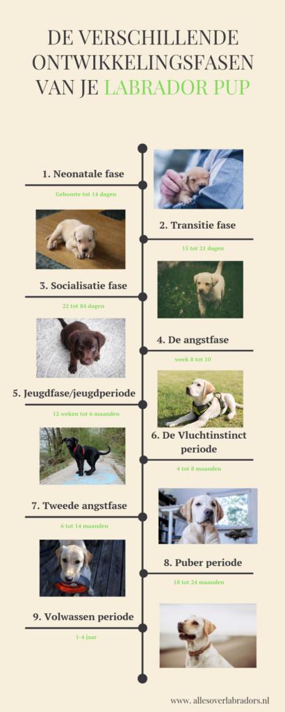 ontwikkeling van een labrador pup