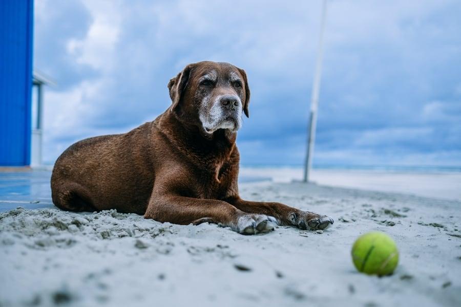senior Labrador wordt minder actief