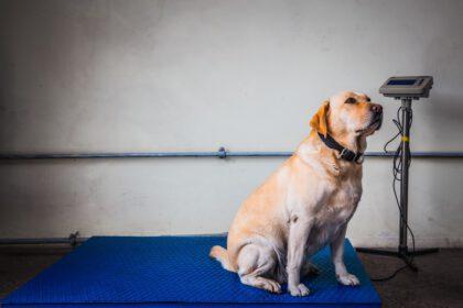 zwaarlijvige Labrador zit op een schaal