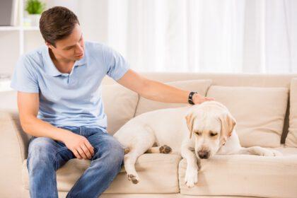zieke labrador in een huis