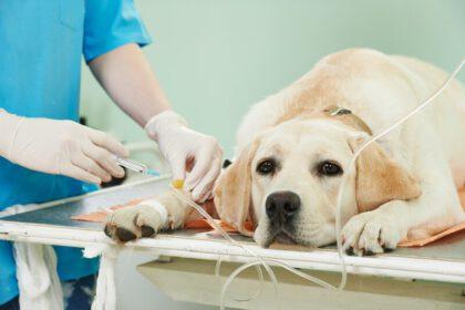 Wat is de beste hondenverzekering voor Labrador Retriever