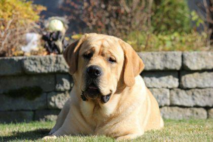 Labradors hypoallergene honden