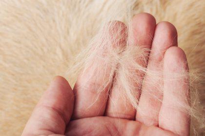Labrador haren