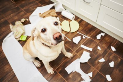 Labrador veroorzaakt problemen