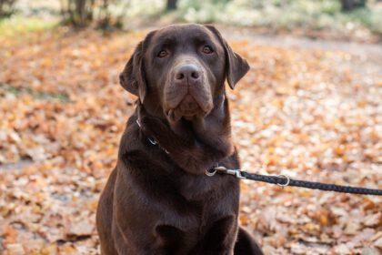 chocolade bruine Labrador