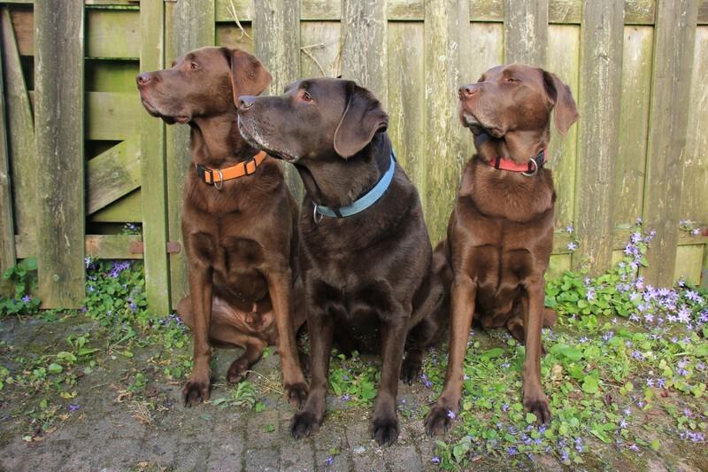 Bruine Labradors