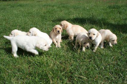 Labrador fokkers in Nederland