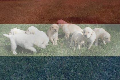 Labrador fokkers in Nederland f