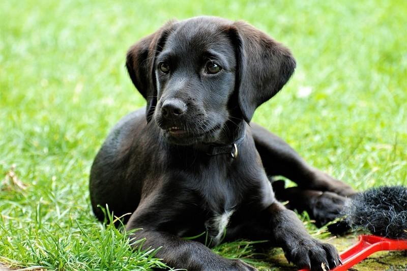 zwarte labrador met witte spot
