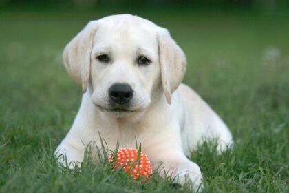Labrador pup items die je moet hebben