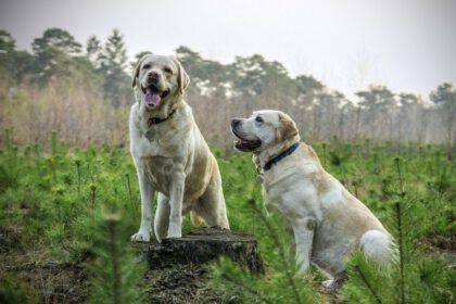 loopsheid labradors