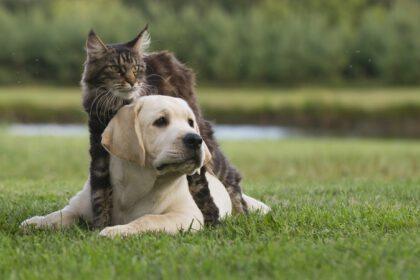 Labrador met kat