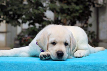 Labrador puppy alleen thuis