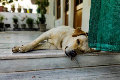 Zijn Labrador Retrievers goede waakhonden