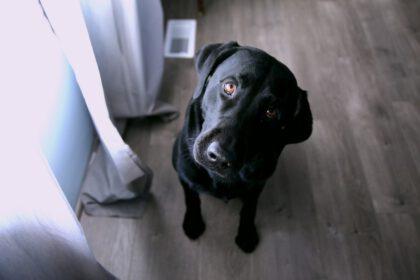Labrador in klein appartement