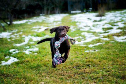 Hoe ga je om met hyperactieve, drukke Labrador pups