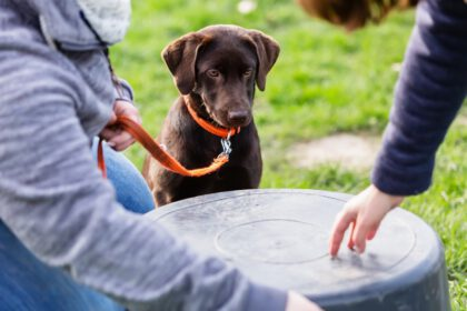 Nuttige Training tips voor Labrador Puppies