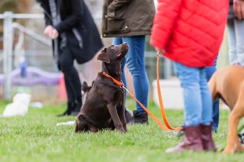 Wanneer begin je met de training van een Labrador puppy