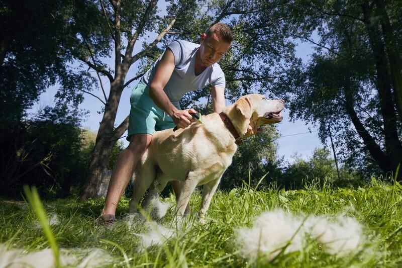 Labrador retriever verharen vacht