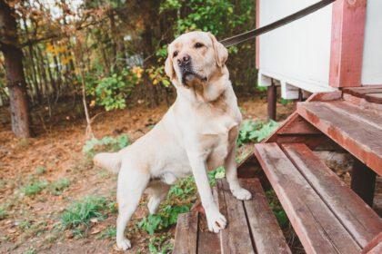 Labrador pup traplopen