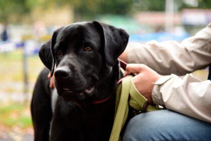 Mijn Labrador is agressief naar andere honden, hoe stop je dit