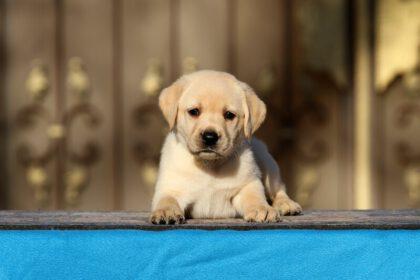 Moet je een Labrador Retriever-puppy borstelen