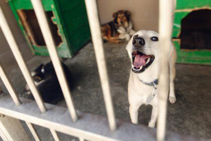 Labrador adopteren