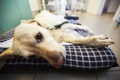 epilepsie bij Labradors
