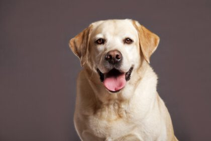 Waarom heeft mijn Labrador kale plekken