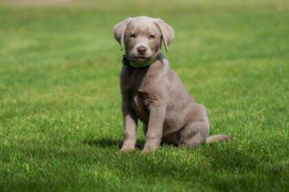 Waar kun je een zilveren of grijze Labrador kopen