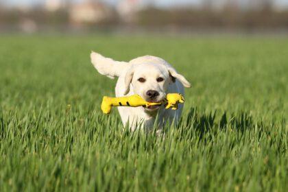 beste speelgoed voor Labrador Retriever puppies