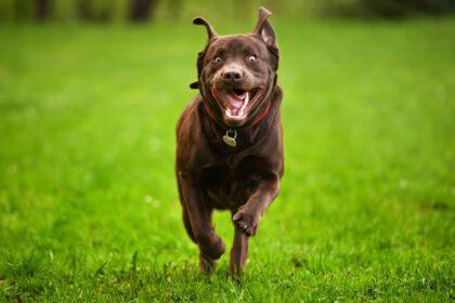 hoe snel kan Labrador rennen