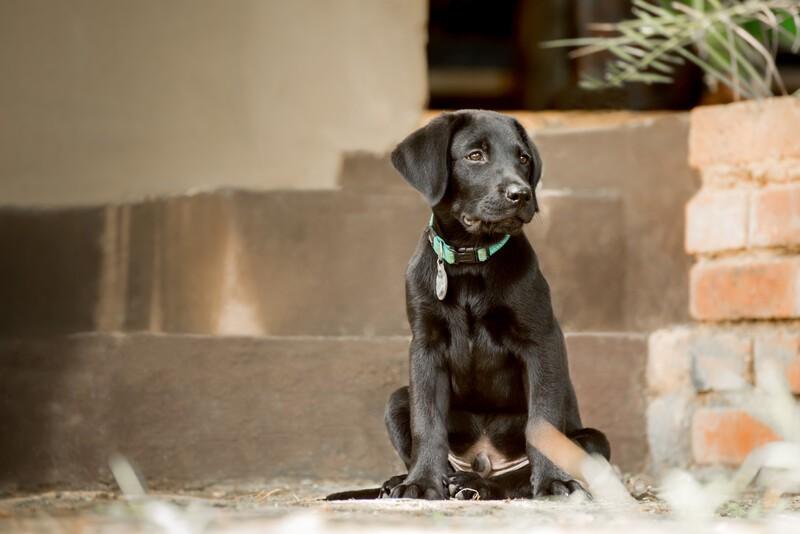 Labrador 3 maanden oud