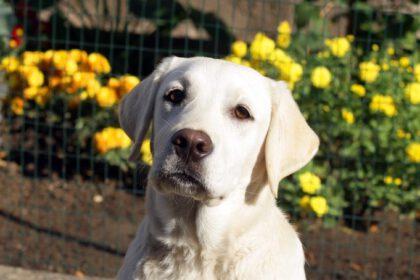 Labrador 6 maanden oud