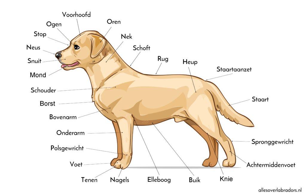 Externe anatomie Labrador