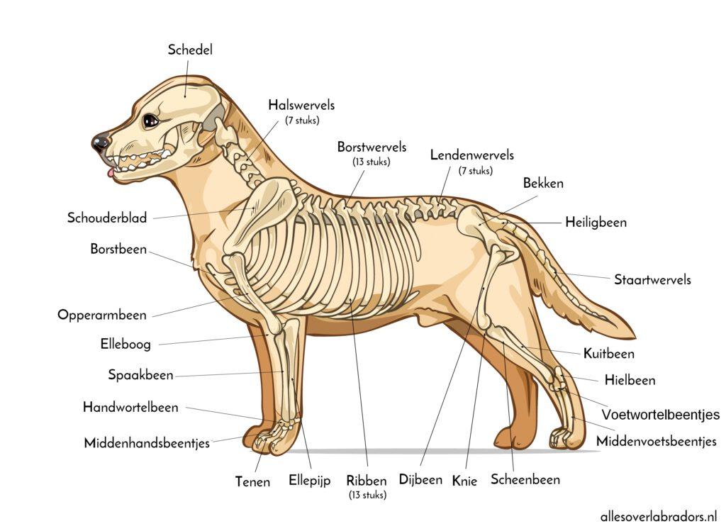 Labrador skeleton anatomie Labrador skeleton anatomy